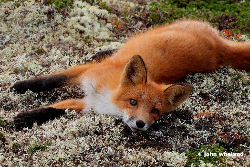Fox--Alaska