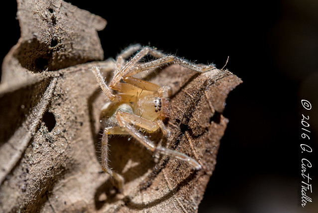 Yellow Sac Spider I