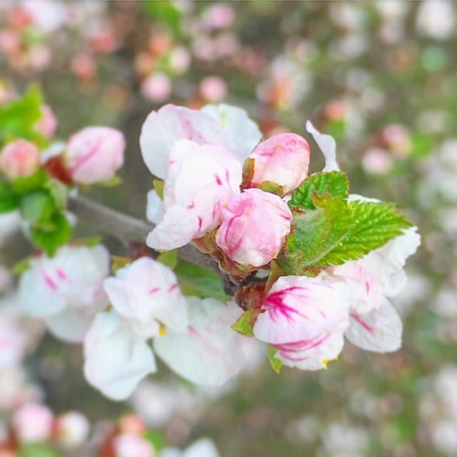 Весна! Наконец-то мы с ней встретились :) #spring #flower #pink #springtime #springflowers #spring2016 #nature #lviv #ukraine #natureofukraine #natureaddict #flowersofinstagram #floweroftheday #ponyfony_flowers #quintaflower #flowerstagram #flowerslovers
