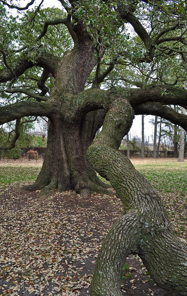 The Emancipation Oak (Quercus virginiana) (6)