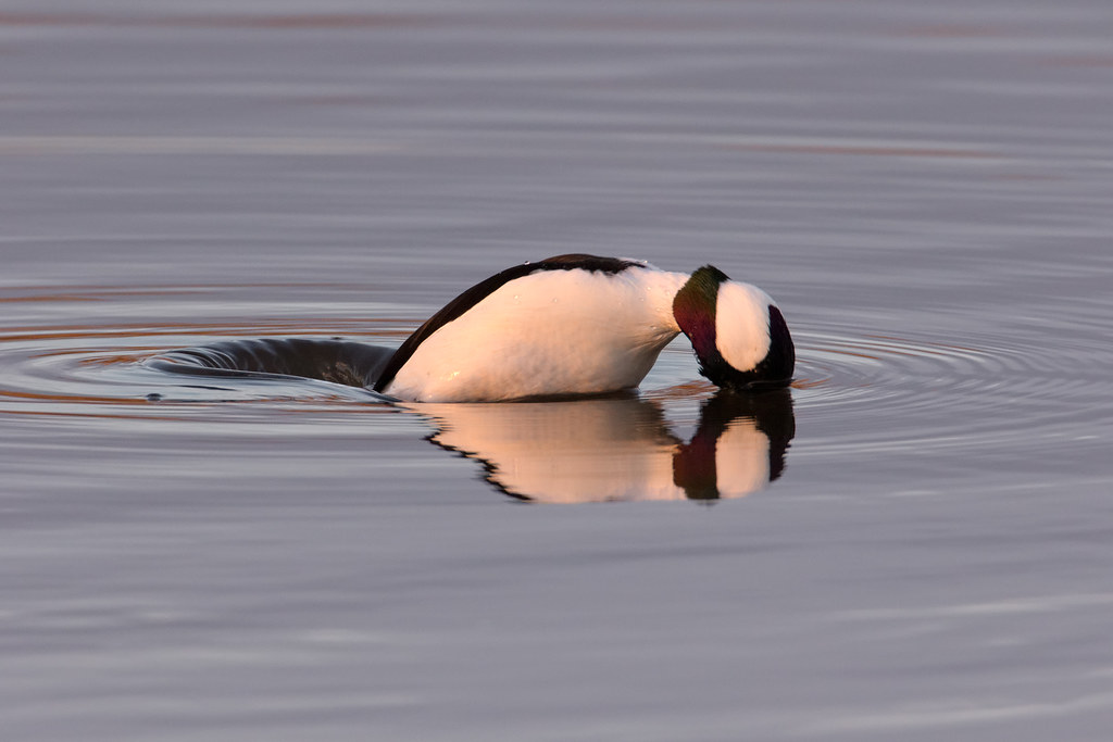 A male bufflehead starts to dive under water at sunset