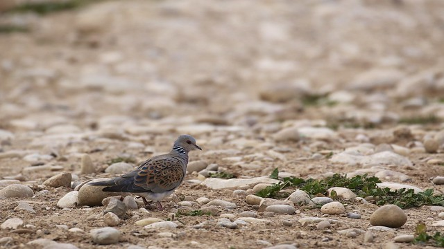 European Turtle-Dove (Streptopelia turtur)