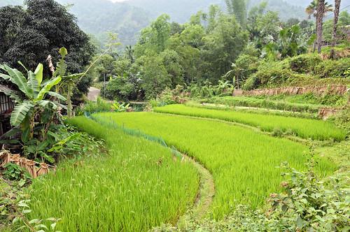 plant field landscape outdoors nikon asia southeastasia vietnamese rice outdoor vietnam asie ricefield paysage ricepaddy paddyfield d300 viêtnam việtnam hagiang rizière asiedusudest hàgiang pascalboegli