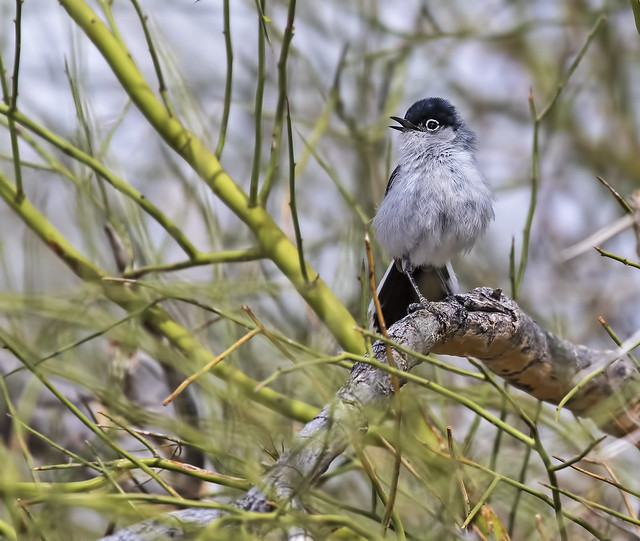 Black-tailed Gnatcatcher 9_7D2_300316
