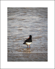 Oystercatcher giving us the cold shoulder