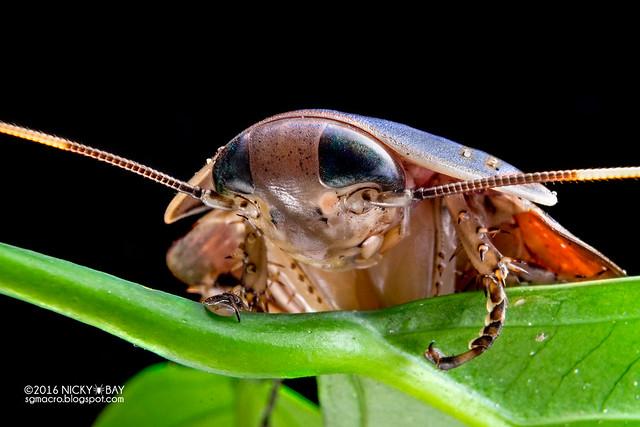 Cockroach (Blattodea) - DSC03762