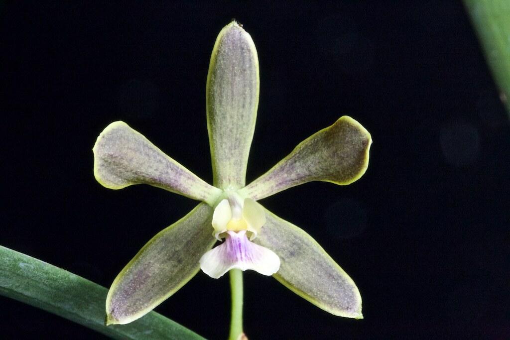 Encyclia ivoniae 24089985021_f084f5d0c5_b