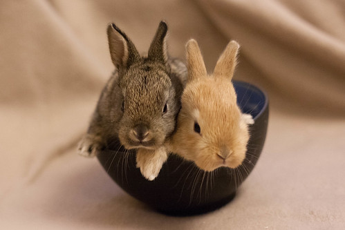 Rabbits in bowl