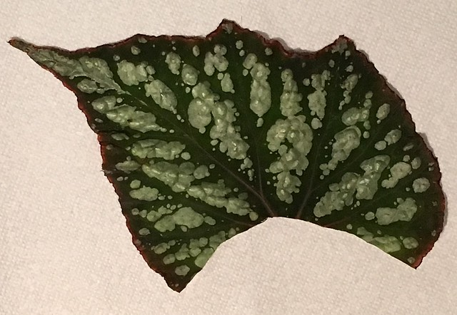 Begonia leaf ready for planting