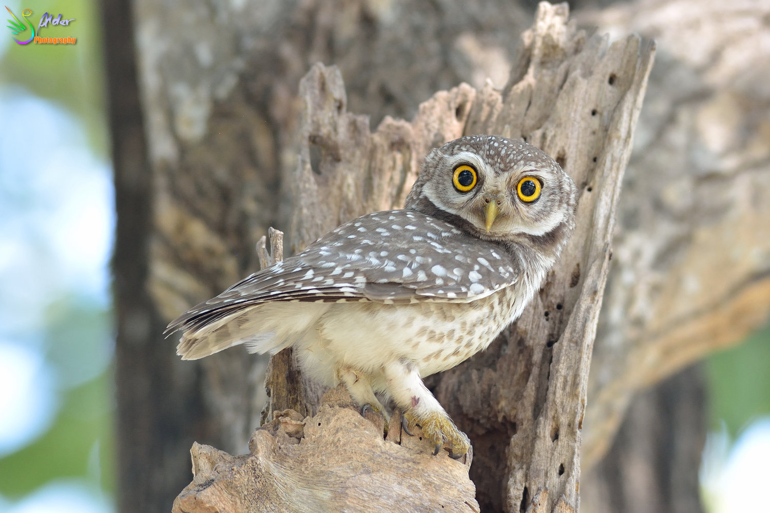Spotted_Owlet_3264