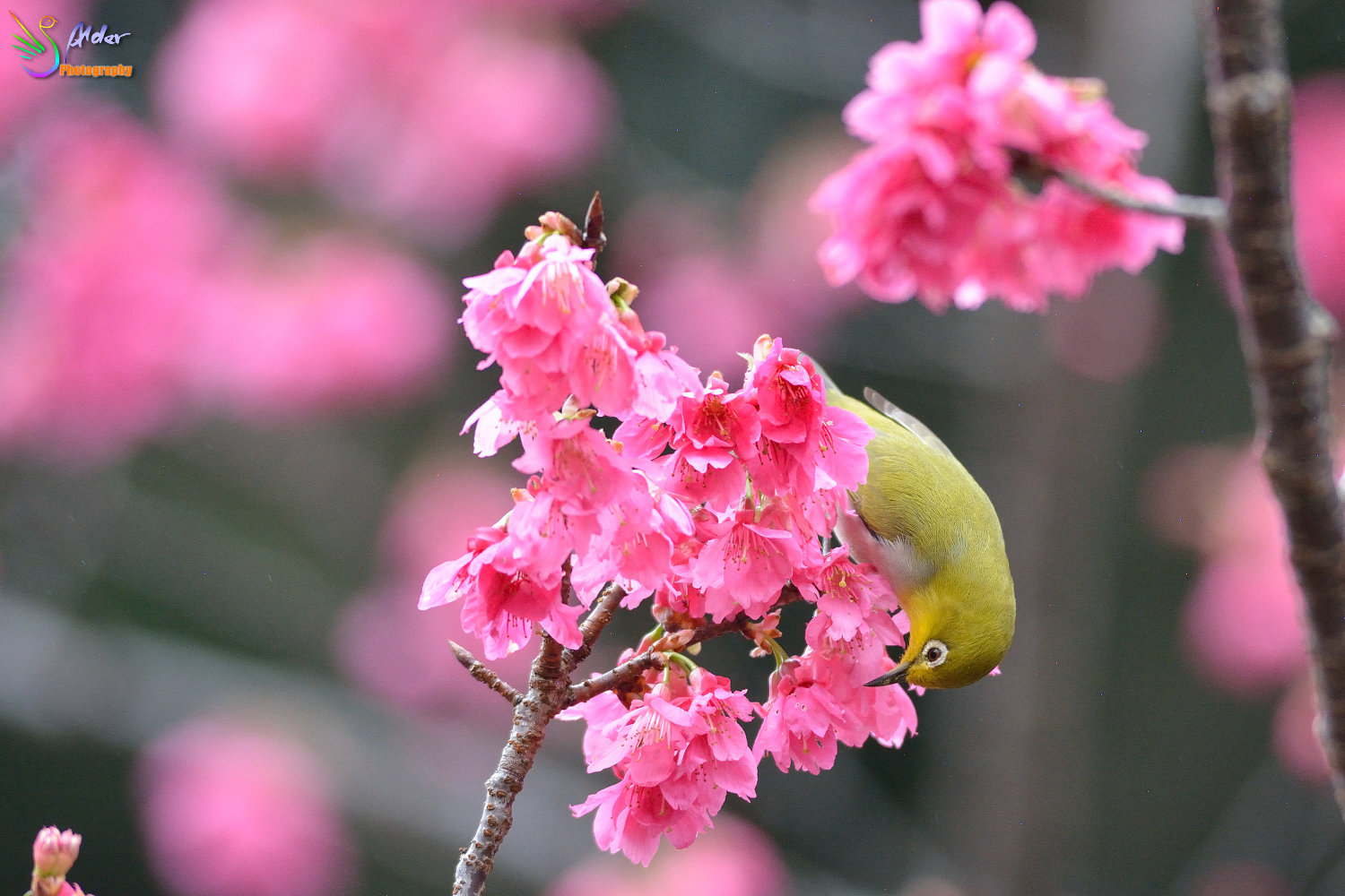 Sakura_White-eye_5907