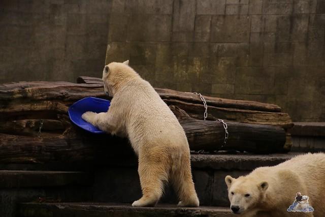 Eisbär Fiete im Zoo Rostock 13.03.2016 Teil 2  0101