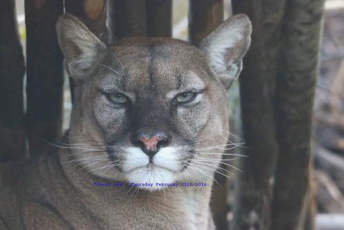paris france puma panther cougar mountainlion pariszoo catamount