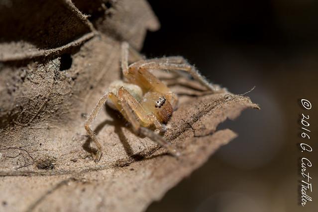 Yellow Sac Spider II