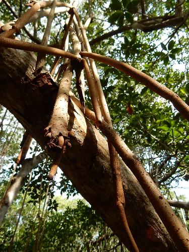 Rio Lagartos - Balneario El Chiquila - hike - mangrove