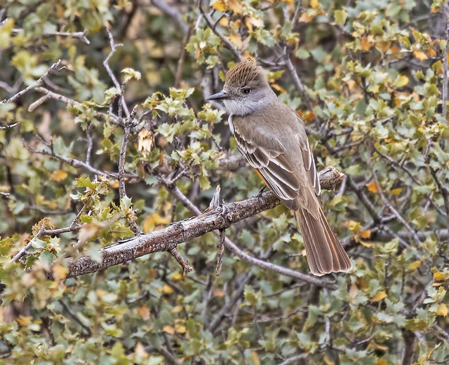 Ash-throated FlyCatcher- 14_7D2_070416