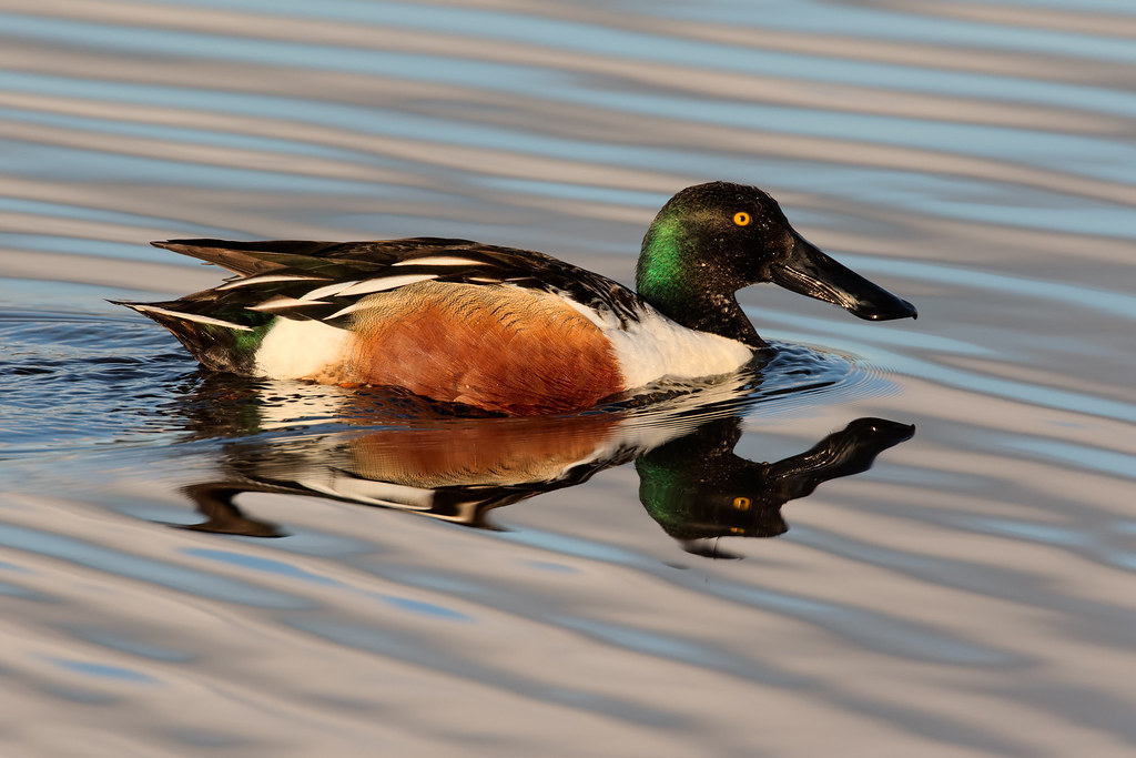 A male northern shoveler swims near sunset
