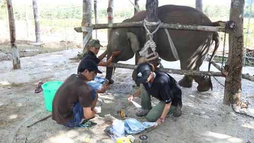 Jun the elephant calf