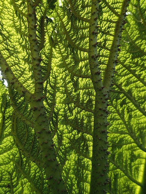 The giant rhubarb Gunnera manicata in Queen Elizabeth Park in Vancouver