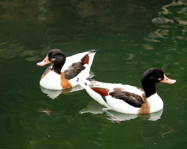 Two little ducks 062