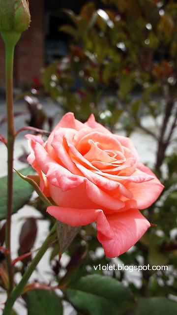 20150616_144233 rose2rw