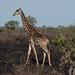 Small photo of Adult male giraffe