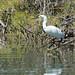 Snowy Egret (Egretta thula)_DSC3937e por Dave Krueper