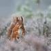 Red Squirrel, Sciurus vulgaris by Midlands Reptiles & British Wildlife Diaries