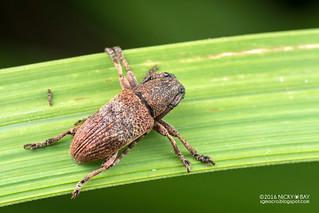 Longhorn beetle (Cerambycidae) - DSC_1593
