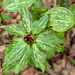 Small photo of Prairie trillium