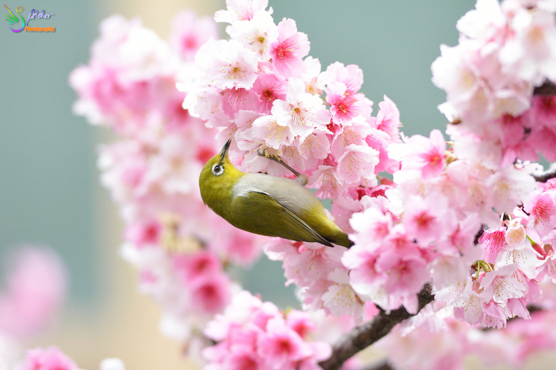 Sakura_White-eye_8114
