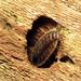 Common Woodlouse by treegrow