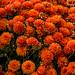 Orange Flowers 1