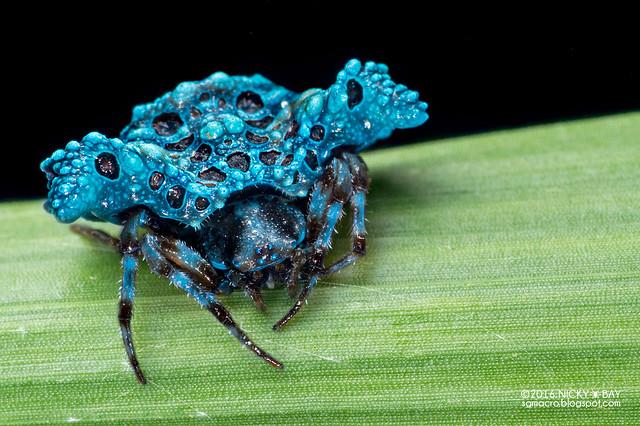 Bird dung spider (Pasilobus sp.) - DSC_3543x