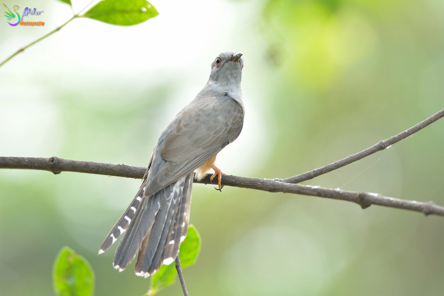 Plaintive_Cuckoo_1696