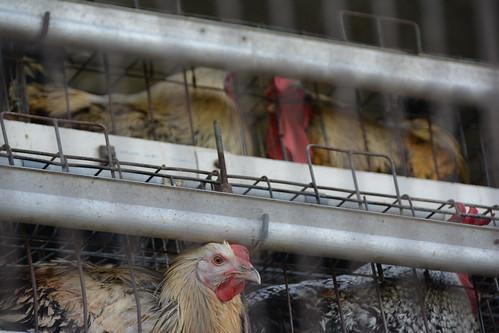 Haryana poultry unit