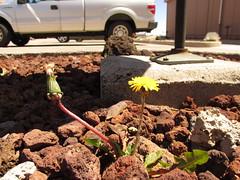 starr-150507-1793-Taraxacum_officinale-flowering_habit-Science_City-Maui
