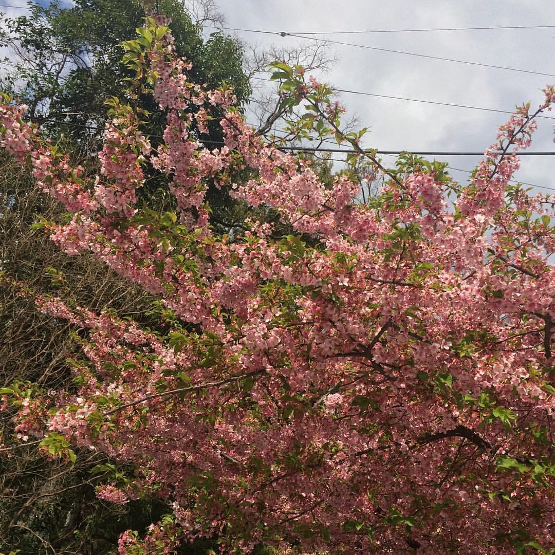もう葉桜になってる
