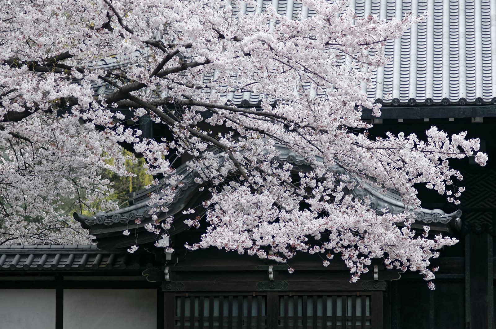 旧因州池田家表門と桜