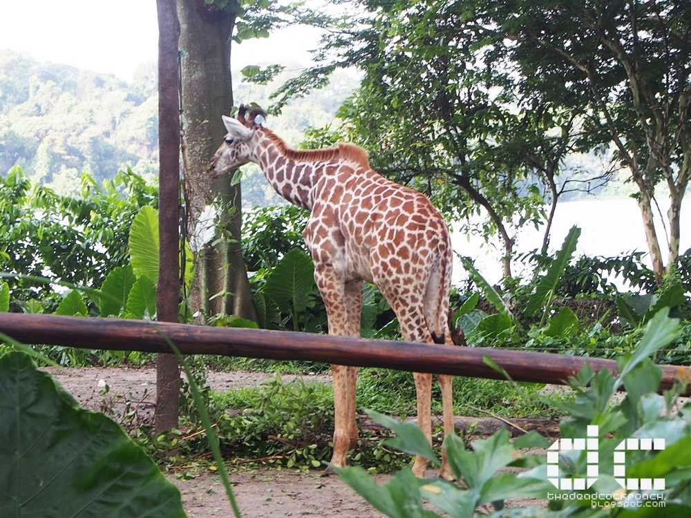 ah meng, giraffe, jubilee, orangutan, singapore, singapore zoo, wildlife reserves singapore, 动物园, 攻略, 新加坡, 新加坡动物园, 旅游, where to go in singapore