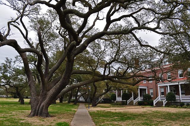 Fort Monroe, Live Oak (Quercus virginiana) (10)
