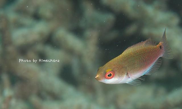 ゴシキイトヒキベラ幼魚。雄が見たいよ!