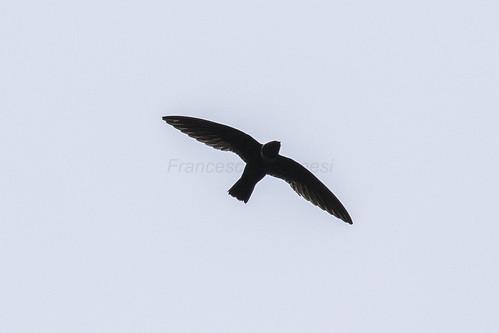 birds costarica centralamerica northernlowlands 83swifts 12whitecollaredswift