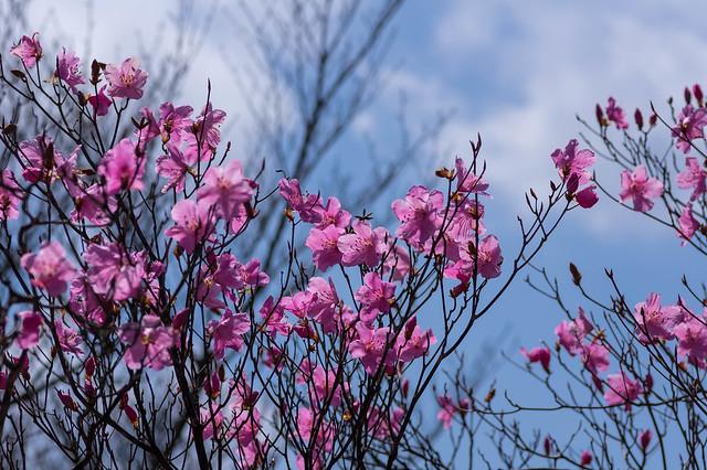 小持山の山頂に咲くアカヤシオツツジ