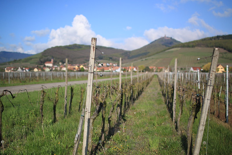 Alsace Wine Road - view of Haut Koenigsbourg castle from the vineyards