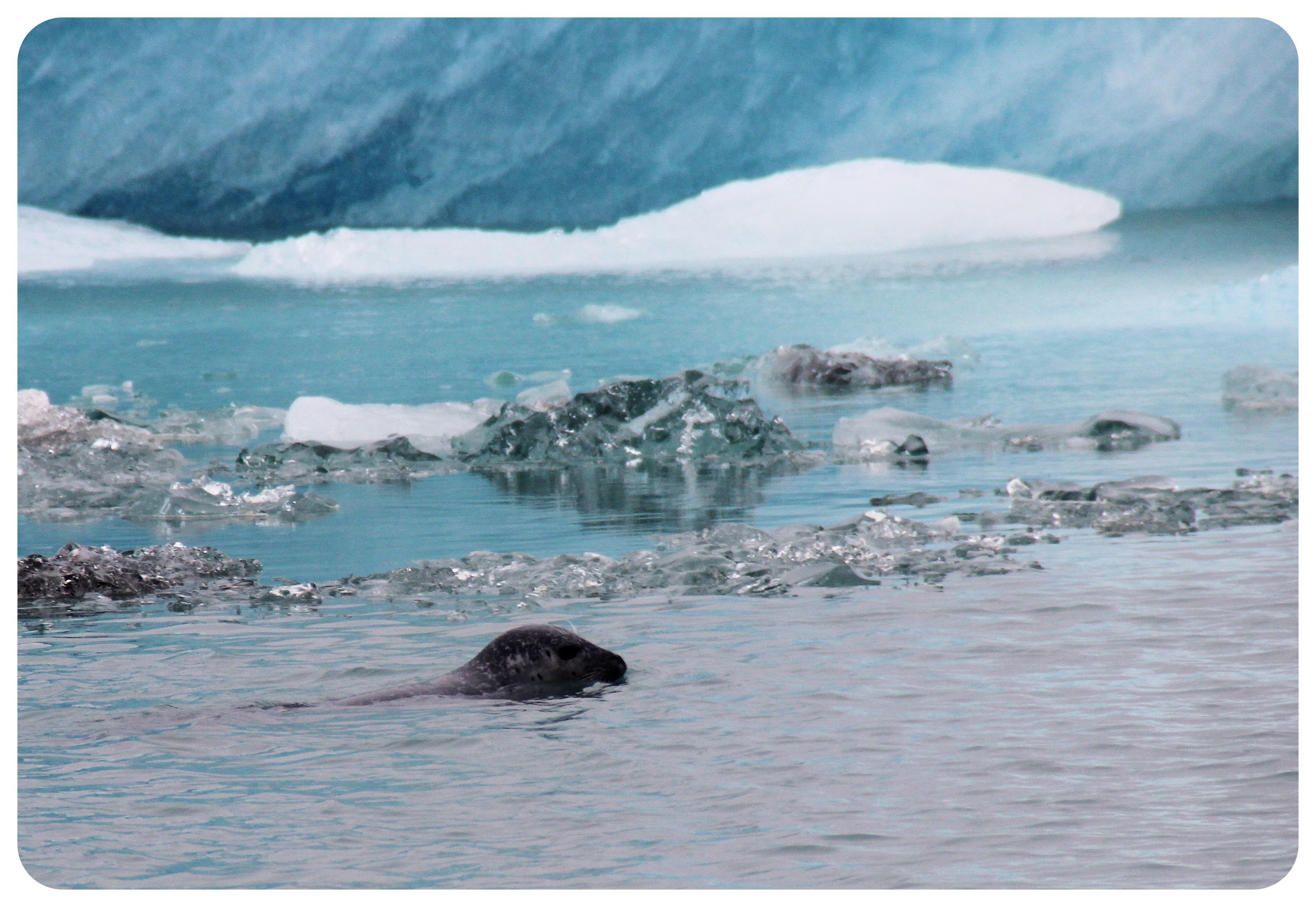 glacier lagoon ice iceland seal