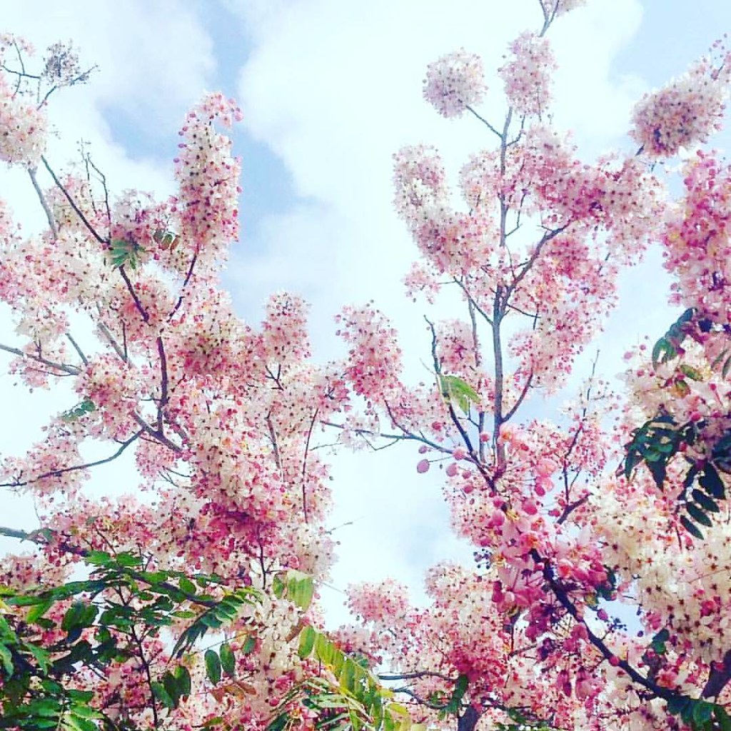 Spring beauty. 🌸🌸🌸 #springblooms #floweringtree #springinmiami