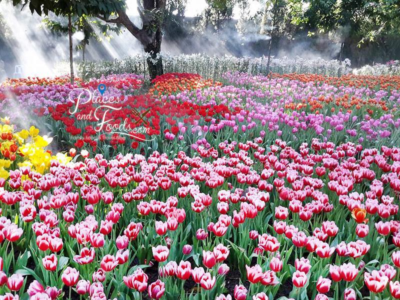 tulip in thailand Suan Tung Lae Khom Chiang Rai Park tulips
