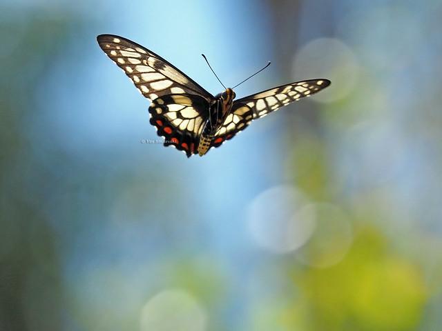 Dainty Swallowtail in flight