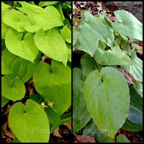 warleyense foliage